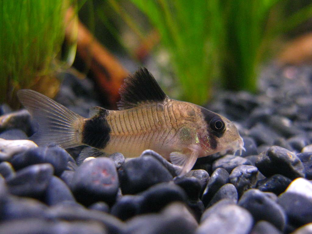 Коридорас панда - белая рыбка с черными полосами на глазах и хвосте