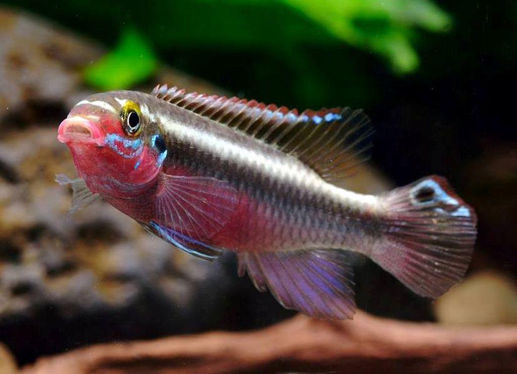 Окрас тела рыбки попугайчика меняется в зависимости от ее настроения