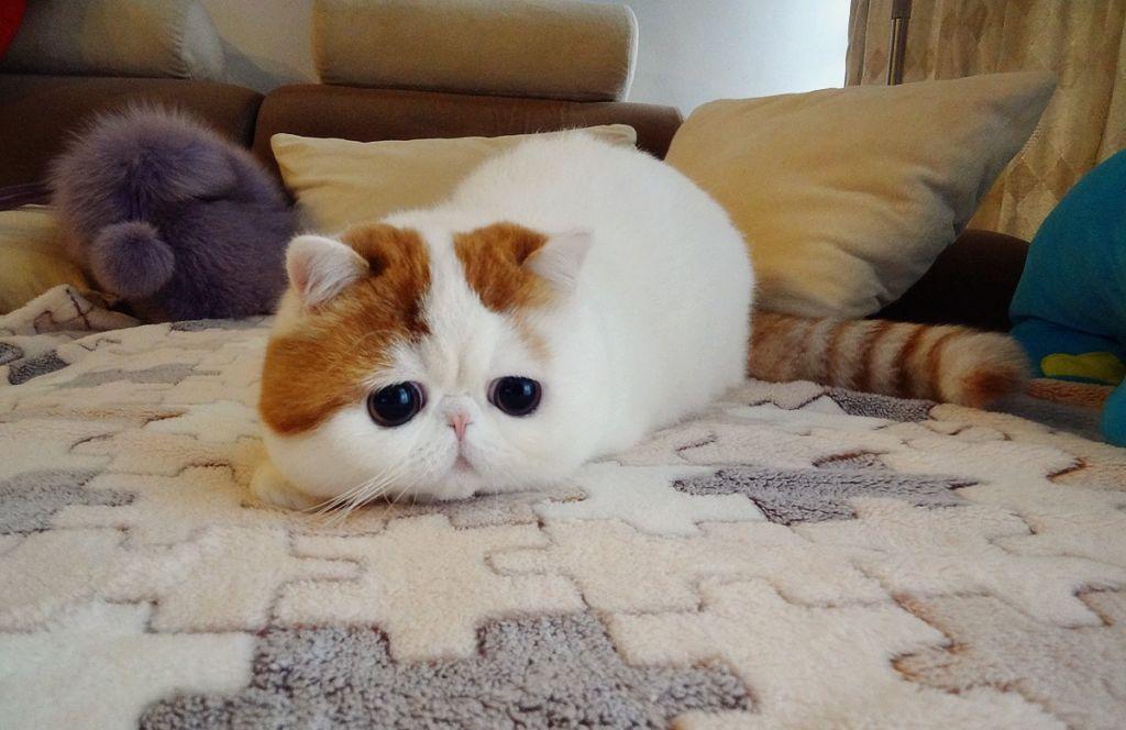 Японская кошка Снупи на ковре