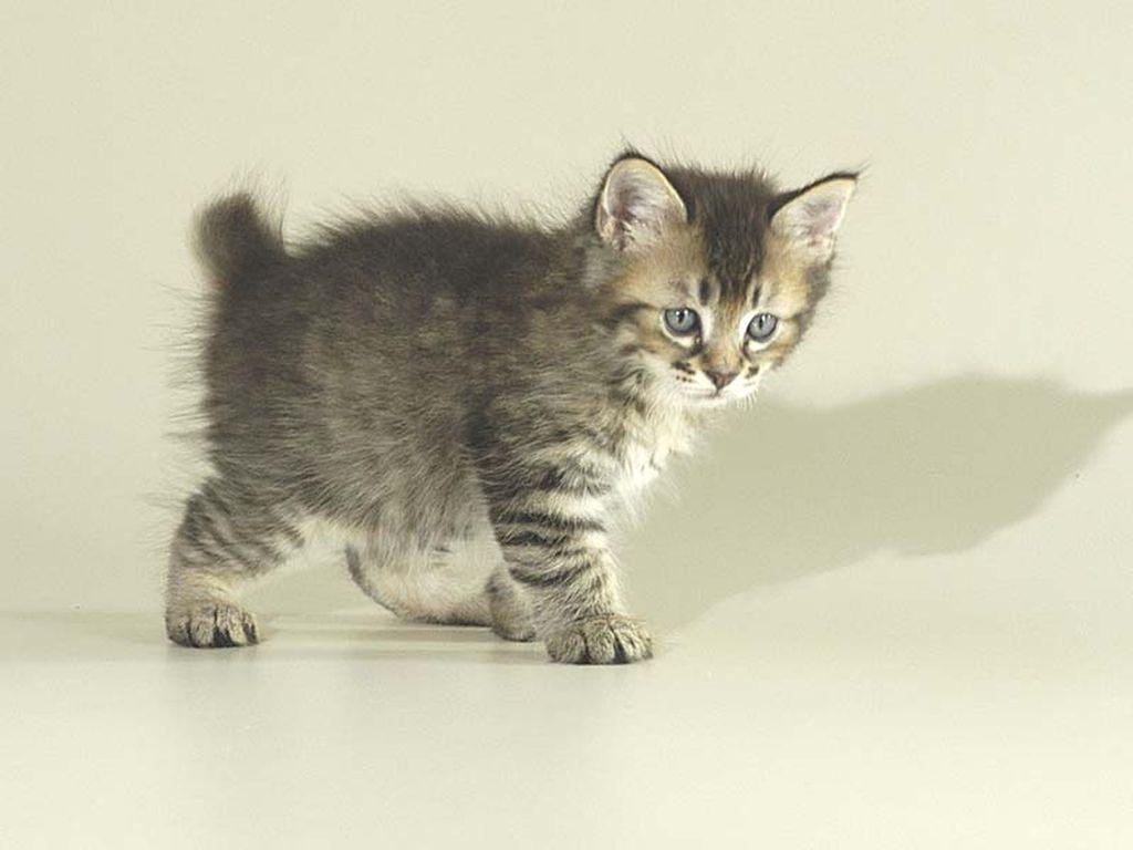Стоимость котенка пикси боба около 30-80 тысяч рублей