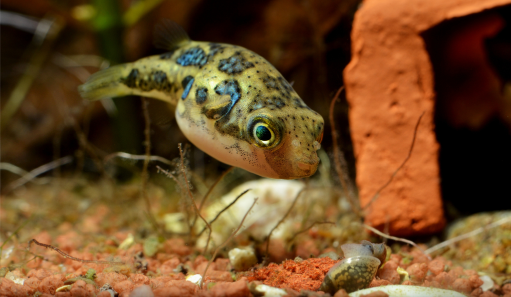 Рыбка тетрадон поедает улиток