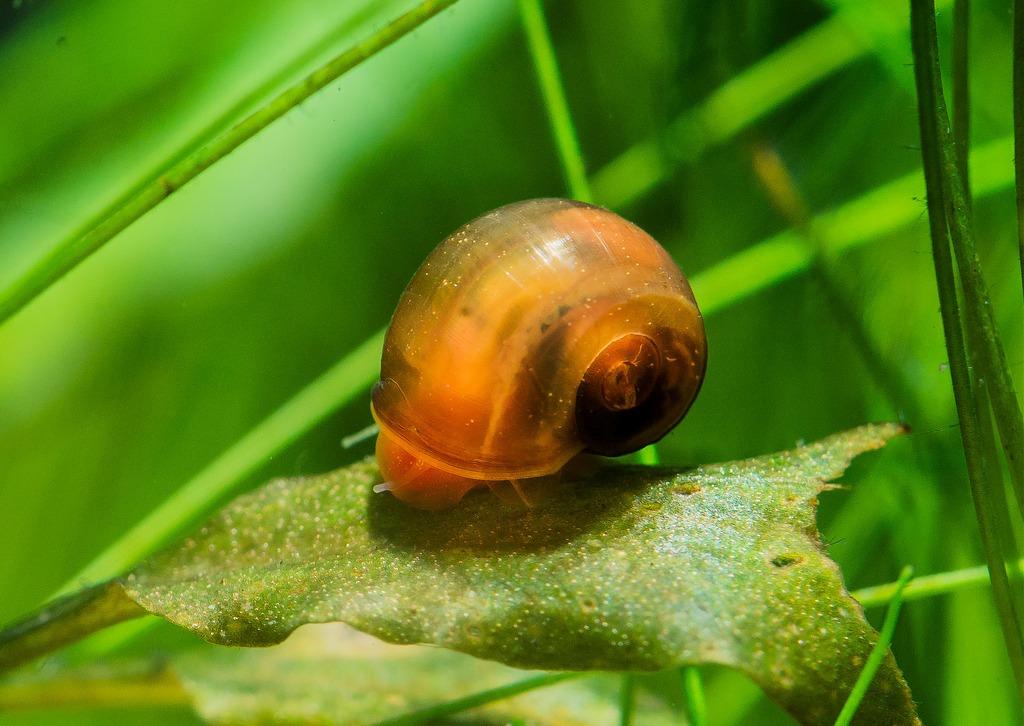 При недостатке пищи катушка может поедать листья и растения