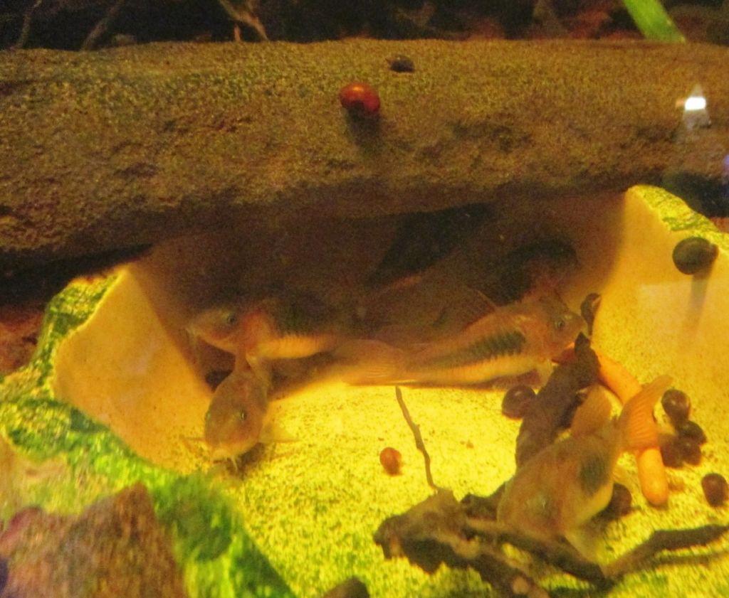 Чтобы избавиться от улиток катушек можно поселить в аквариум анциструсов