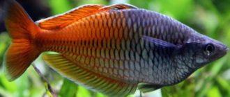 Рыбка радужница