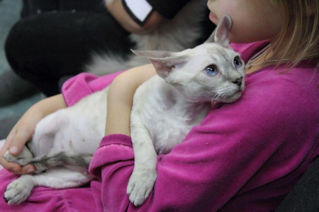 Кошка Девон-рекс на руках у девочки