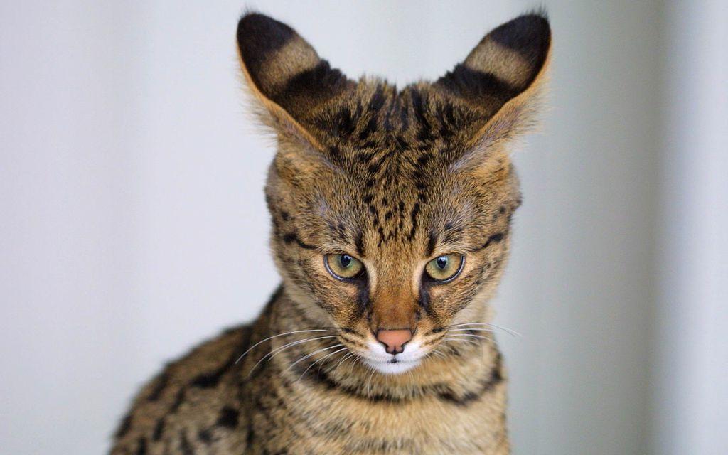 Кошка имеет большие широкопоставленные уши