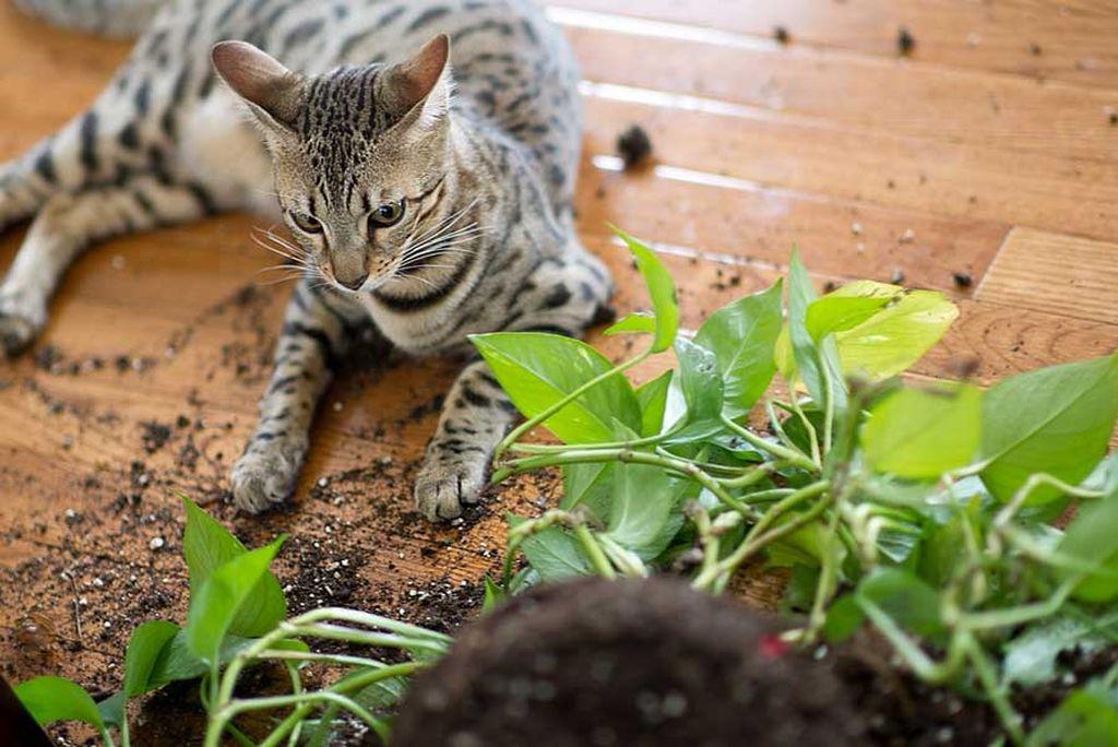 Кошка требует много места и не подойдет спокойным людям