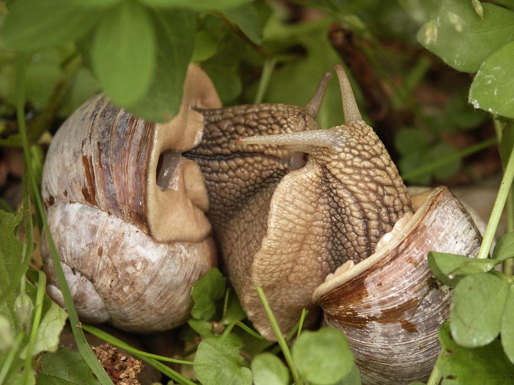 Процесс спаривания начинается когда подошвы моллюсков соединяются