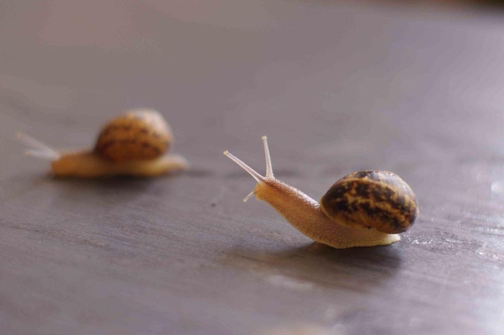 Через 4-5 месяцев улитята достигают 2,5-3 см в длину