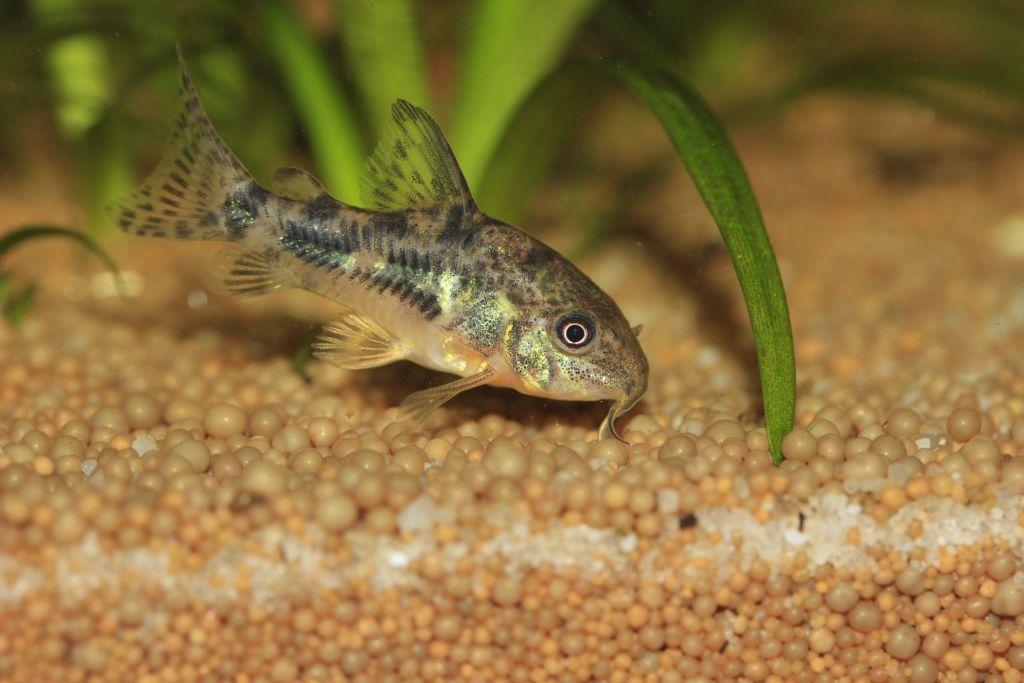 Крапчатый сом в аквариуме