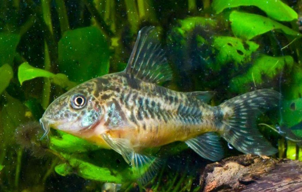 Содержание крапчатого сомика в аквариуме