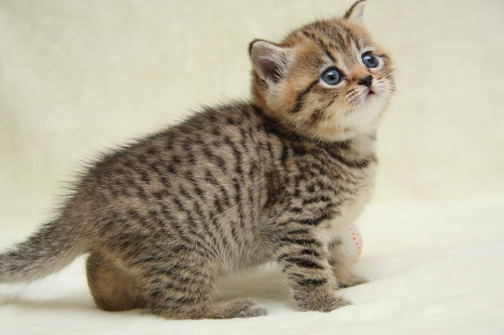 Котят табби покупают в зарубежных питомниках
