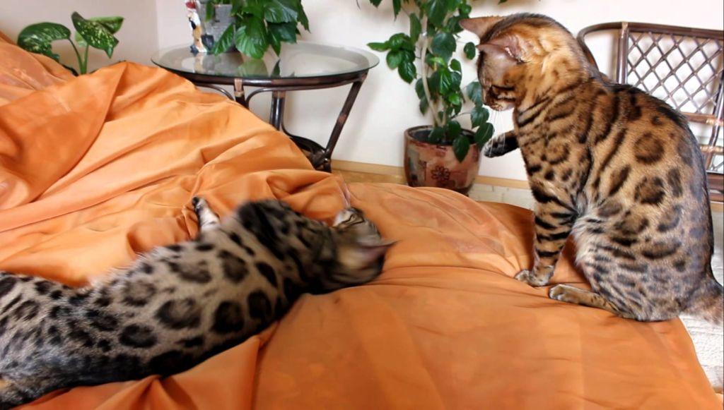Коты с тигровым окрасом