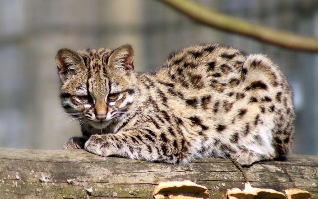 Кошка порода Онцилла