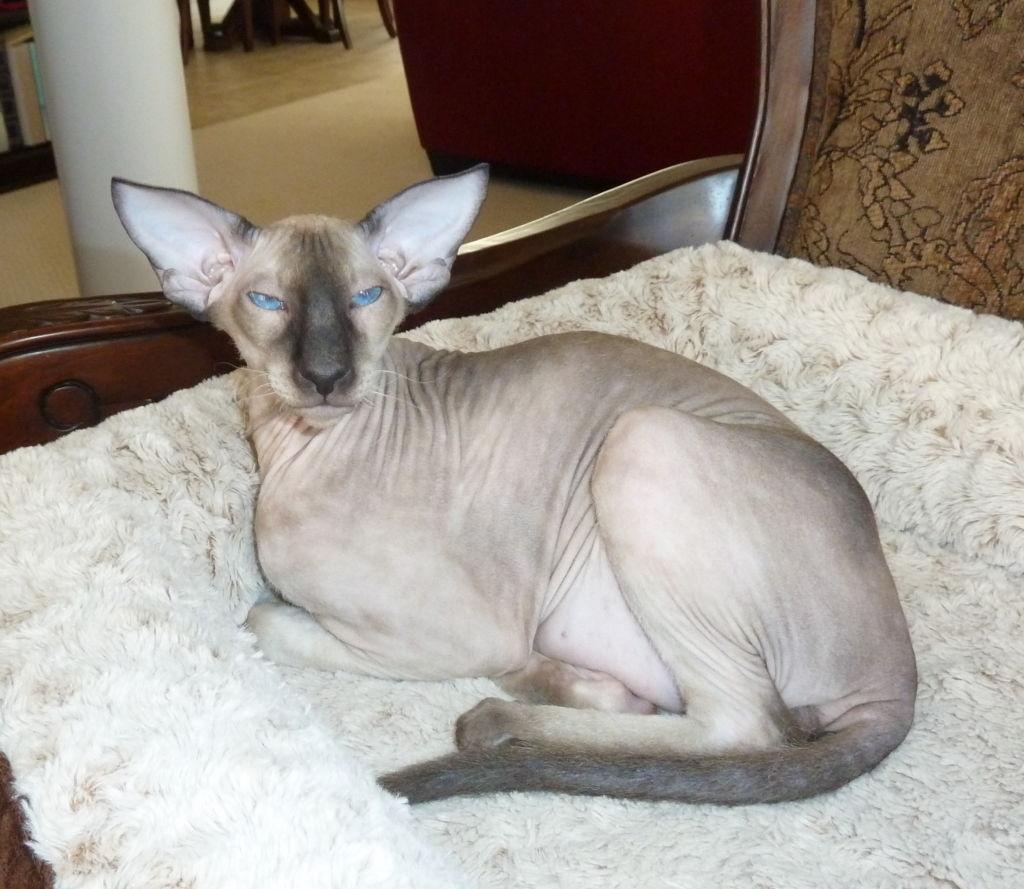 Лысая кошка порода Петерболд