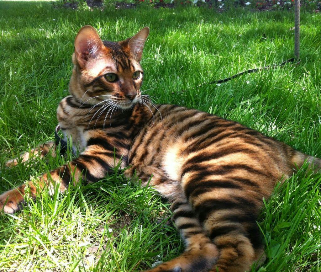 Кошка порода Тойгер