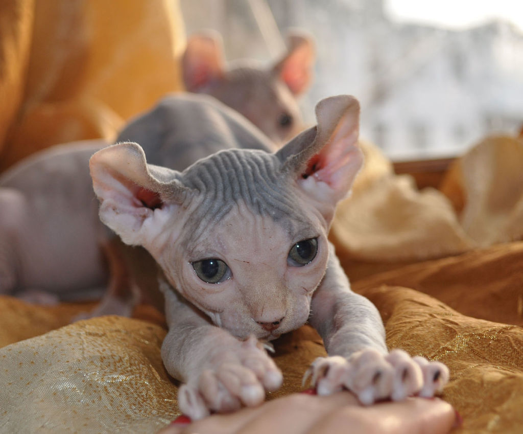Кошка порода Эльф
