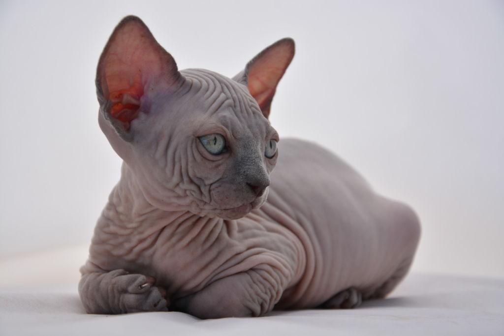 фото кошка эльф