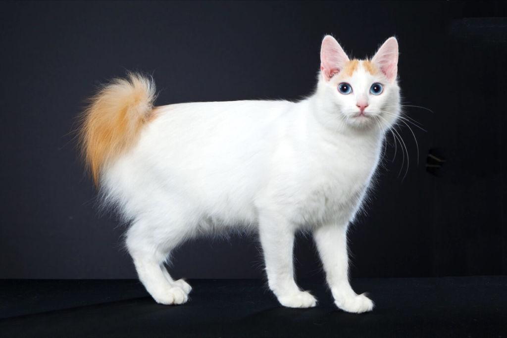 Кошка породы Японский бобтейл