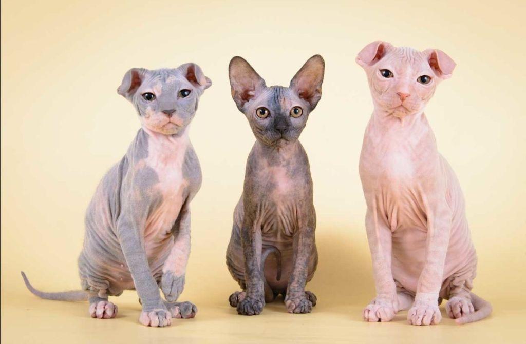 Кошки породы Украинский Левкой