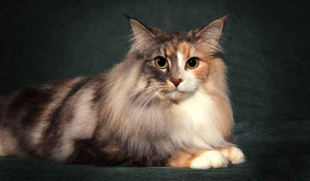 10 самых дорогих пород кошек в мире