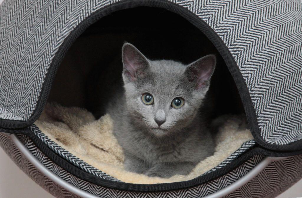 Русские голубые кошки любят сидеть в домиках