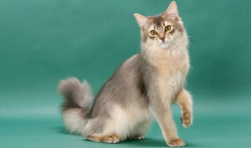 Серебристая кошка