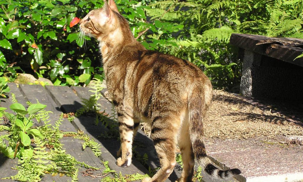 Кошка порода Сококе