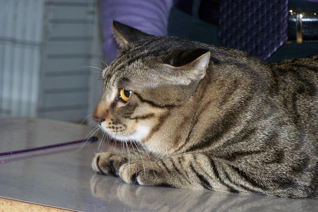 Китайские коты по интуиции привыкли точить коготки намного чаще, чем другие представители