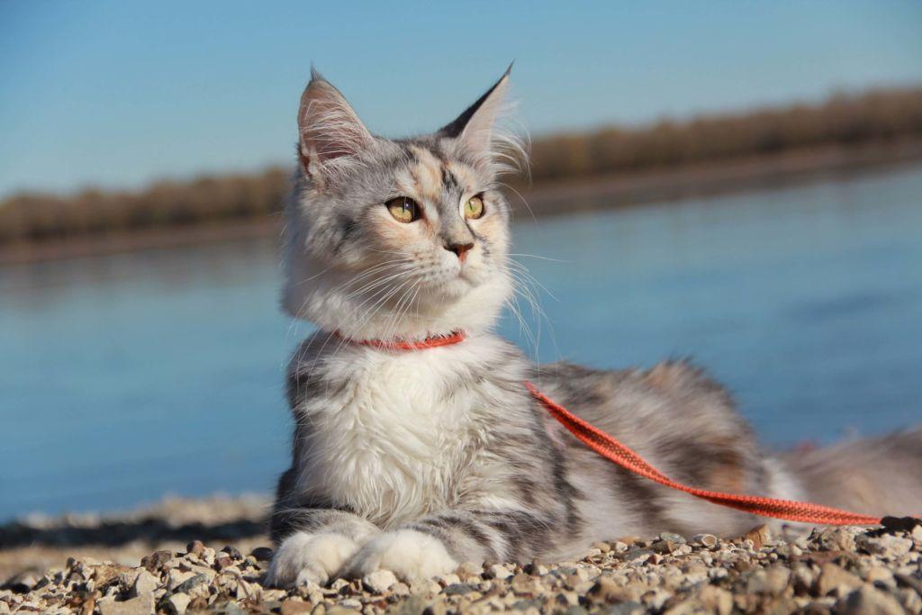 При скрещивании многопалого кота и обычной кошки может получиться полидакт