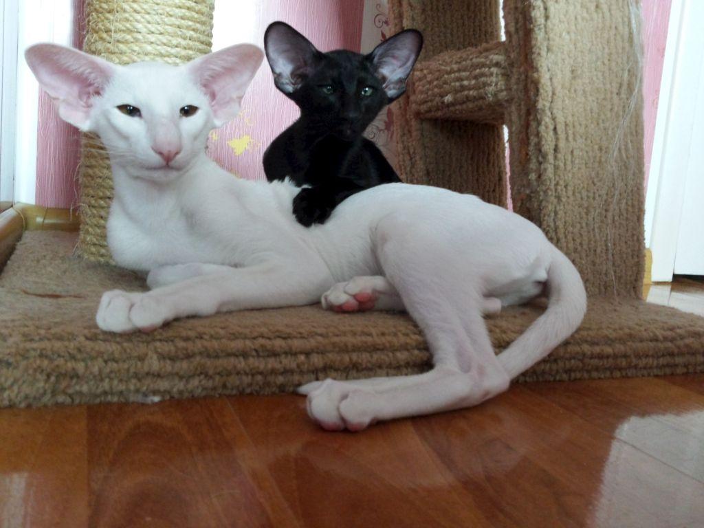 Белая и черная ориентальная кошки породы Грузин