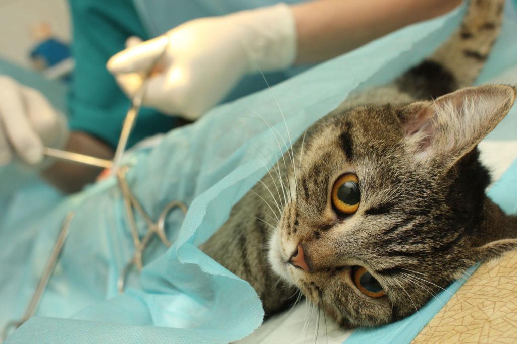 Ветеринары считают - самый оптимальный возраст для стерилизации кошек - 6 месяцев