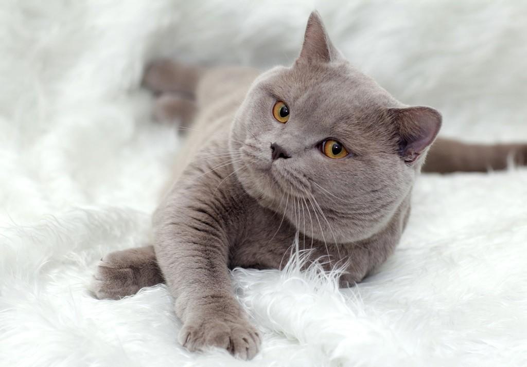 6 популярных окрасов британской кошки: лиловый, черепаховый, серебро, табби, колор-пойнт и биколор