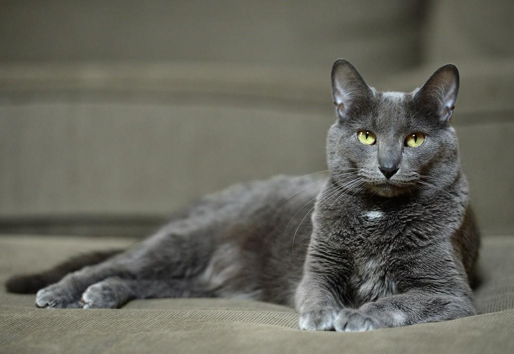 Подробное описание породы кошек корат