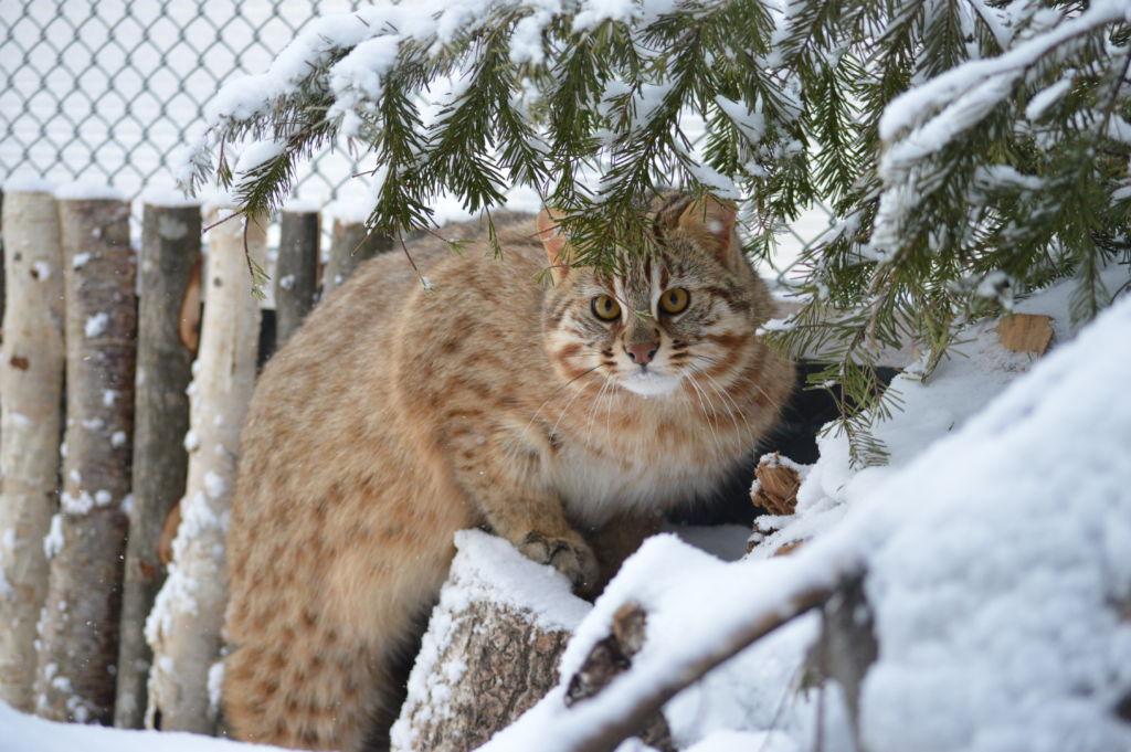дикий нрав дальневосточного кота