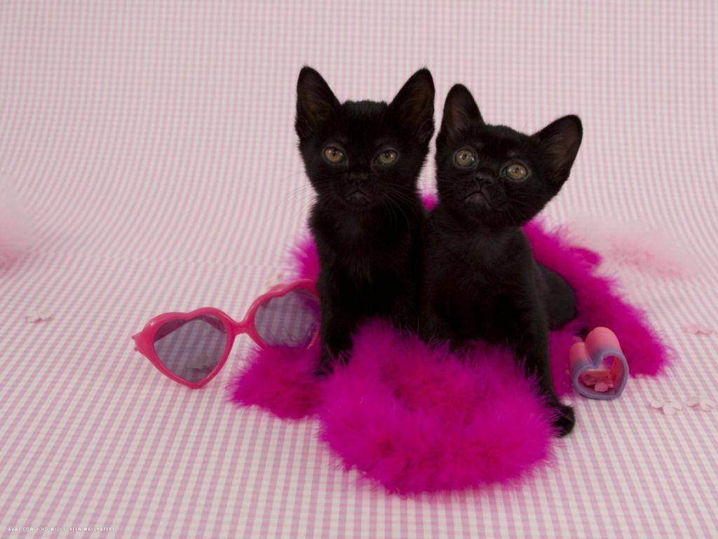 Стерилизуют бомбейских котят в 6-9 месяцев