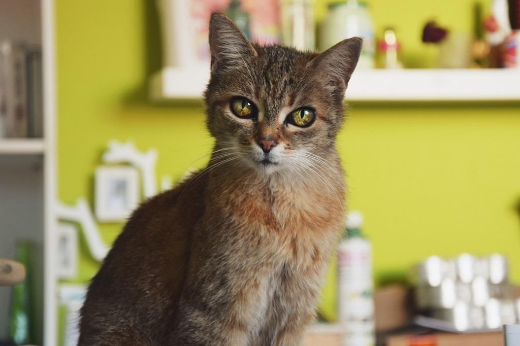 Подробное описание китайской породы кошка ли хуа