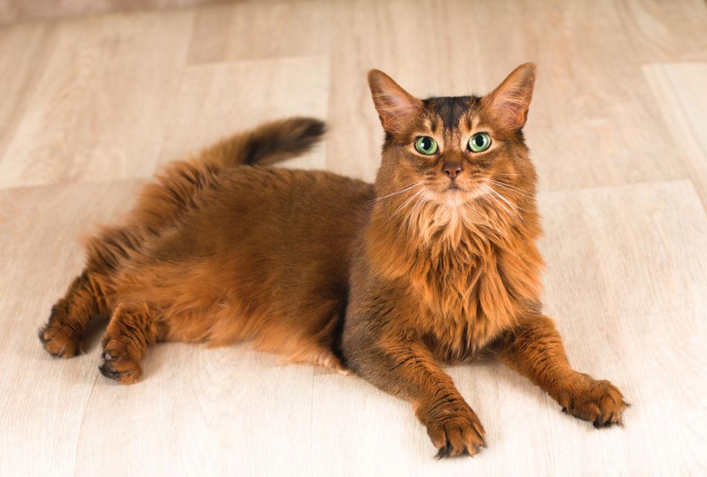 Стандартный окрас сомалийской кошки