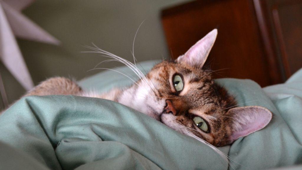 Отит – распространенное заболевание у кошек