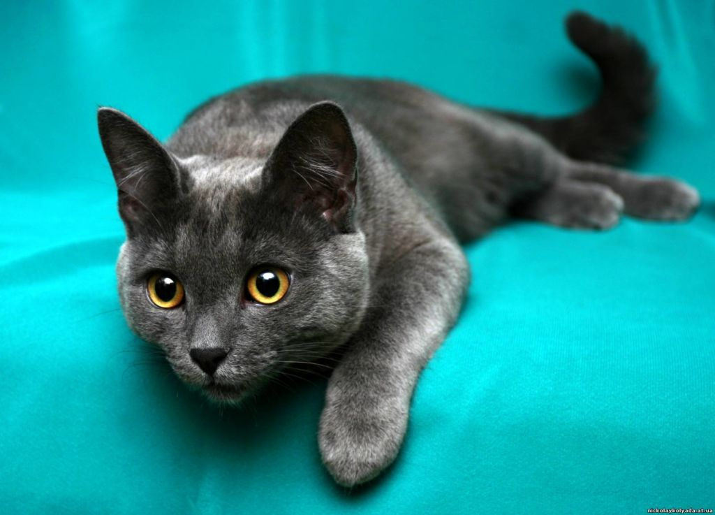 Кораты – очень энергичные, умные и ласковые коты