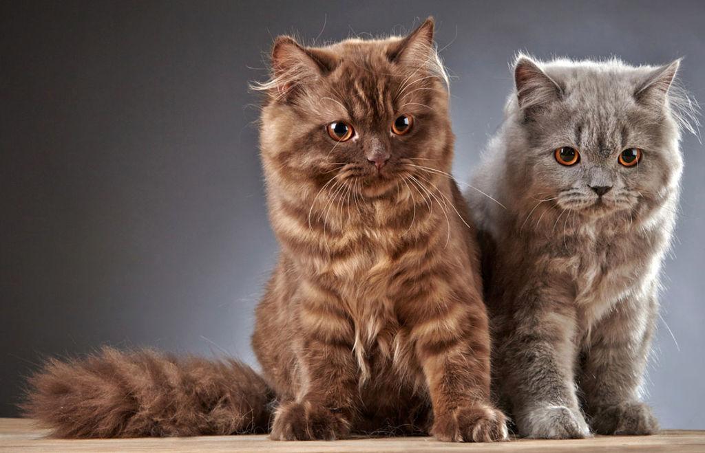 Британские длинношерстные кошки разных окрасов