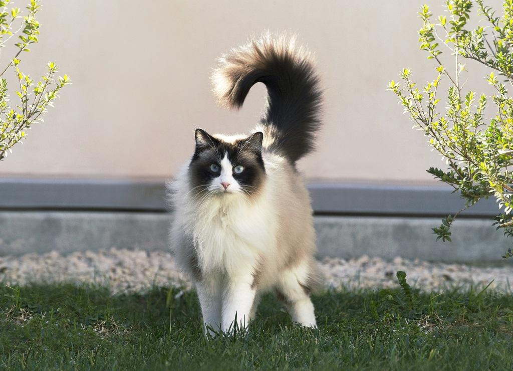 Рэгдоллы – тяжелые, довольно крупные кошки