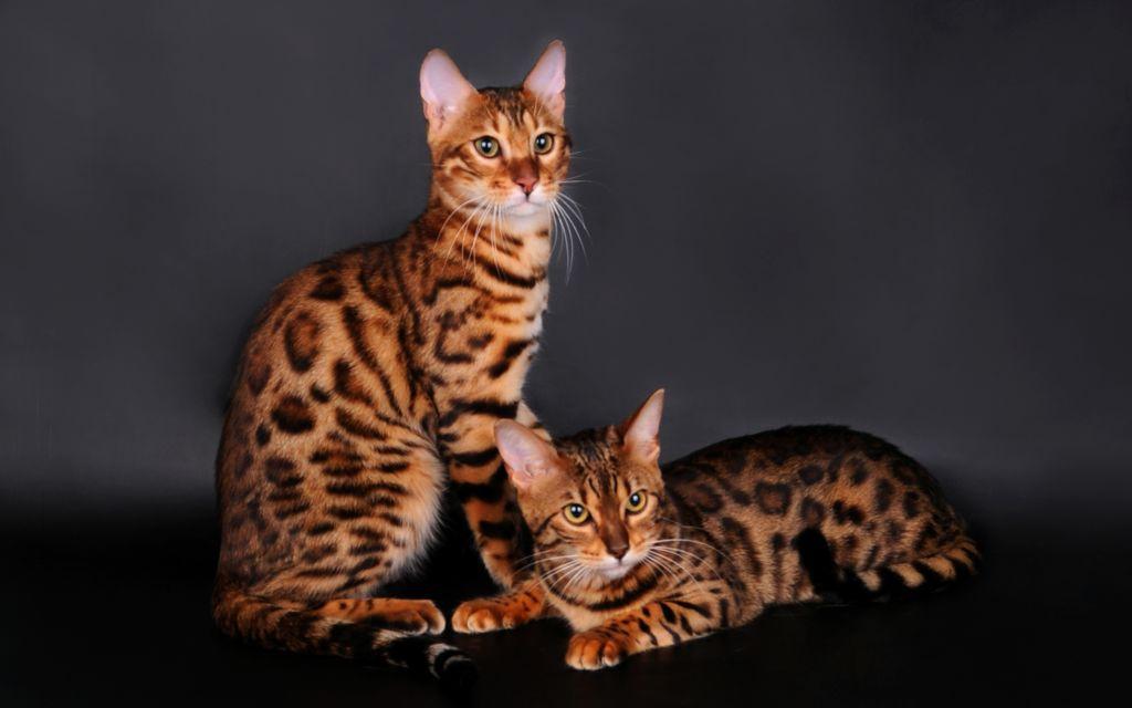 Обычный вид бенгальской кошки