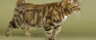 Породы кошек без хвоста