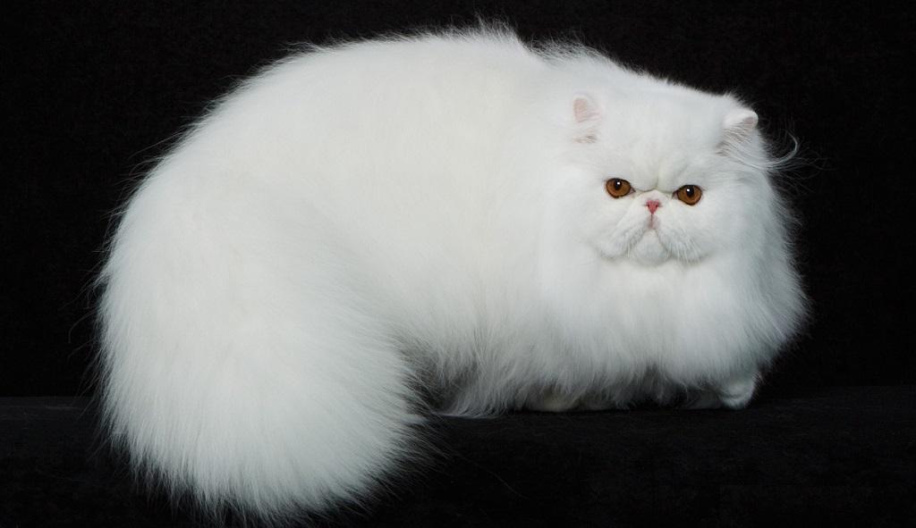 Белый перс