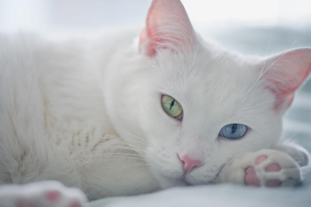 Гетерохромия чаще встречается у белых кошек