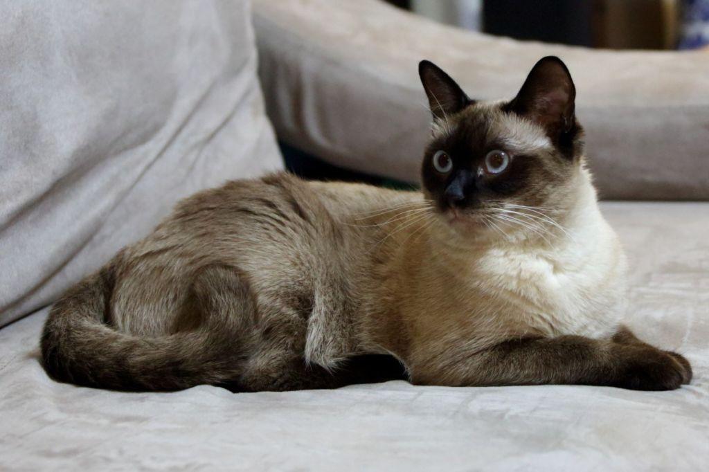 Один из вариантов окраса балинезийской кошки