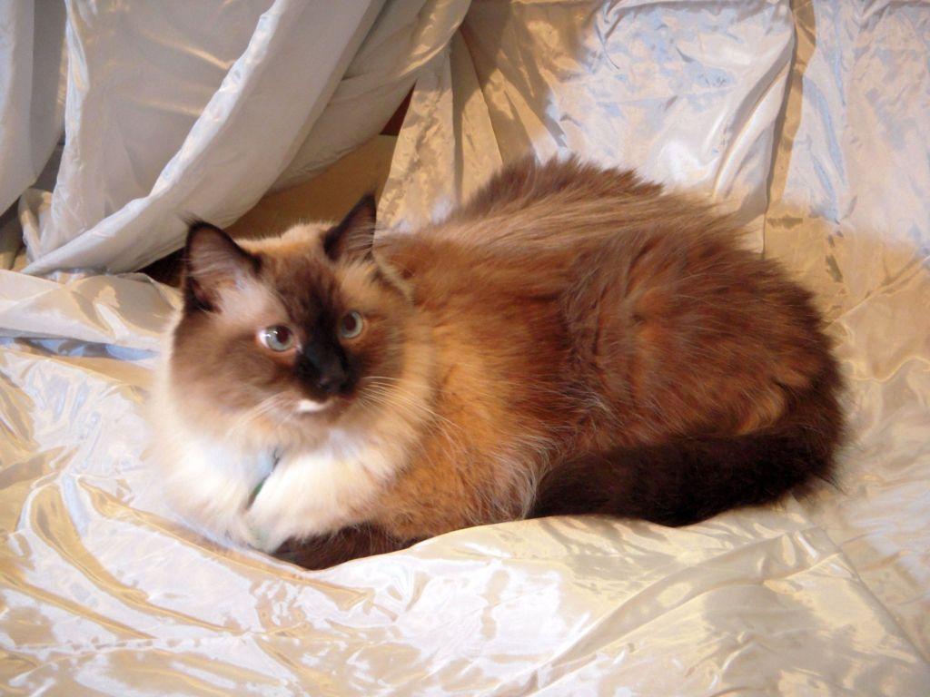 9 гипоаллергенных пород кошек