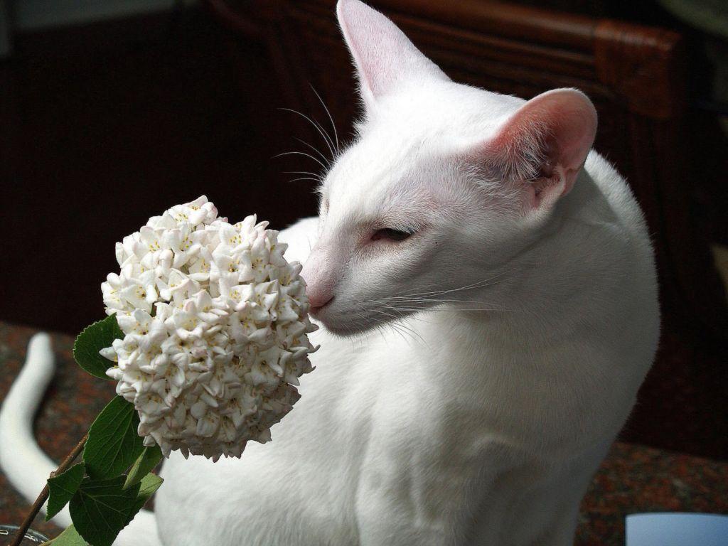 Вязка кошки – это ответственный процесс