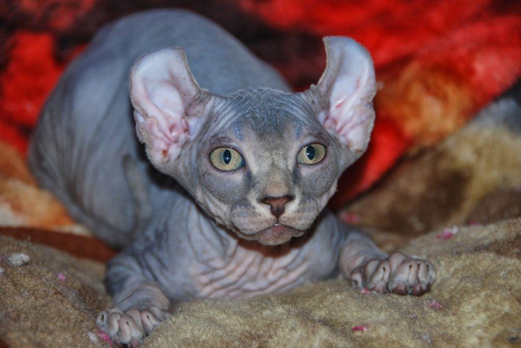 Кошка Эльф принадлежит к одной из самых редких и дорогих пород семейства кошачьих